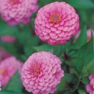 Zinnia~&quot;LUMINOSA PINK&quot; ZINNIA~Seeds!!!!~~~~~~Such a Wonderful Bloomer!