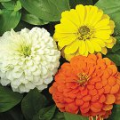 Zinnia~&quot;TALL MIXED&quot; ZINNIA~Seeds!!!!~~~~~~~~Glorious Flowers!!!