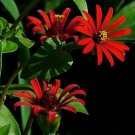 Zinnia~&quot;RED SPIDER&quot; ZINNIA~Seeds!!!!~~~~~~Tiny Little Stars!