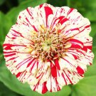 Zinnia~&quot;PEPPERMINT STICKS-RED & WHITE&quot; ZINNIA~Seeds!!!!~~~~~~Splash!!!