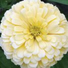 Zinnia~&quot;POLAR BEAR&quot; ZINNIA~Seeds!!!!~~~~~~Big & Beautiful!