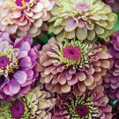 Zinnia~&quot;QUEEN RED/LIME&quot; ZINNIA~Seeds!!!~~~~My Best Seller!!