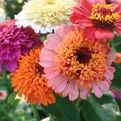 Zinnia~&quot;CANDY BLEND&quot; ZINNIA~Seeds!!!!~~~~~~~A Little Different!!!