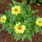 Zinnia~&quot;PROFUSION-YELLOW&quot; ZINNIA~Seeds!!!!~~~~~~Wonderful for Borders!