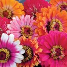 Zinnia~&quot;WHIRLYGIG MIX&quot; ZINNIA~Seeds!!!!~~~~~~~~Wild Colors!!