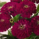 Zinnia~&quot;BENARY&#39;S GIANT WINE&quot; ZINNIA~Seeds!!!!~~~~~~~~Rich Color!!!
