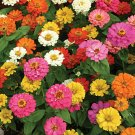 Zinnia~&quot;THUMBELINA MIX&quot; ZINNIA~Seeds!!!!~~~~~~Vivid Border Flowers!