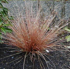 Ornamental grass red rooster grass seed for Perennial grasses red