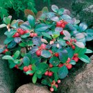 WINTERGREEN~Seeds!!!~~~~Low Growing Herb!!