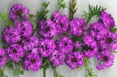 how to grow moss verbena from seed