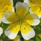 Limnanthes~&quot;POACHED EGG PLANT&quot;~Seed!!~~~~~~~A Special Beauty!