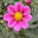 "Dahlia~""MIGNON ROSE"" PATIO DAHLIA~Seeds!!~~~~~Wonderful Grower!"