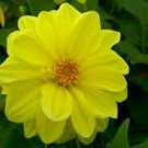 Dahlia~&quot;OPERA YELLOW&quot; PATIO DAHLIA~Seeds!!~~~~~Sunny Yellow!!