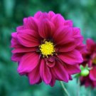 Dahlia~&quot;OPERA VIOLET&quot; PATIO DAHLIA~Seeds!!~~~~~A Special Addition to Any Garden!