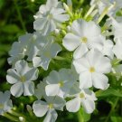 Phlox~WHITE PHLOX DRUMMONDII~Seeds!!!!~~~Pristine!