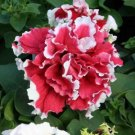 Petunia (Double)~&quot;RED PIROUETTE&quot; PETUNIA~Seed!!!~~~~~Beautiful!