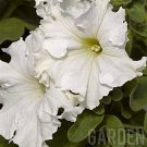 Petunia (Single)~&quot;FRILLYTUNIA WHITE&quot; PETUNIA~Seed!!!~~~~~~~Lovely!