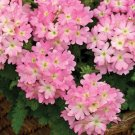 Verbena~&quot;TUSCANY PINK PICOTEE&quot; VERBENA~Seeds!~~~~~Lovely Carpet of Pink!