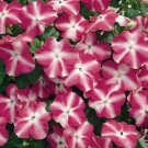 Impatiens~&quot;ACCENT ROSE STAR&quot; IMPATIENS-Seeds!~~~~~~~~~Brilliant!