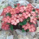 Impatiens~&quot;ACCENT SALMON PICOTEE&quot; IMPATIENS-Seeds!~~~~~~~What a Find!