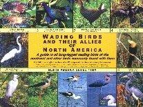Wading Birds of North America