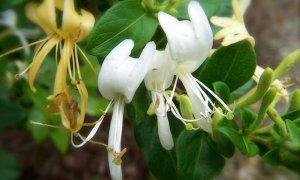 Honeysuckle Bush (soy wax tarts)