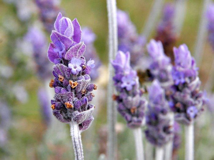 Lavender  (soy wax tarts)