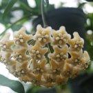 Cutting of Hoya coraceae