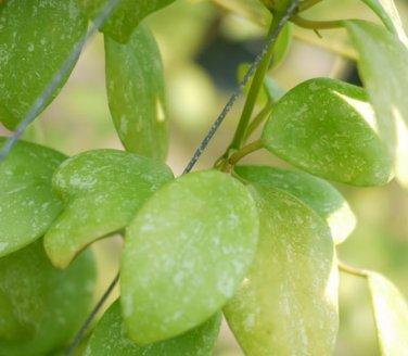 Cutting of Hoya diptera