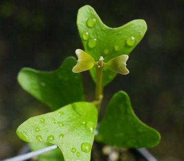 Cutting of Hoya manipurensis