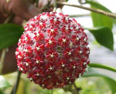 Cutting of Hoya mindorensis red