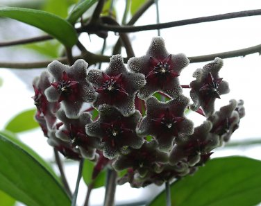Cutting of Hoya pubicalyx dark red
