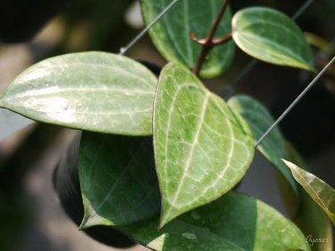 Cutting of Hoya tjadasmalangensis