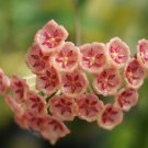 Rooted plant of Hoya siariae red
