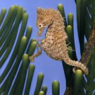 Sea Horse and Baby  Beautiful 13 x 19 Color Photo