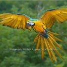Yellow Macaw Bird Beautiful in Flight Poster Photograph