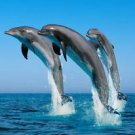 Dolphins Jumping Great  Beautiful 13 x 19 Color Photo