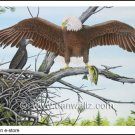 American Bald Eagle Nest Print