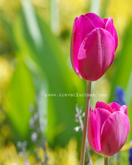 Violet Tulips - 8x10 - Original Fine Art Photograph