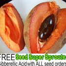MAMEY SAPOTE (Pouteria sapota) SEEDS [1] exotic & unique tropical fruit