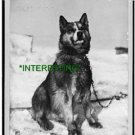 "1910 --BRITISH ANTARCTIC EXPEDITION ""CHRIS"" (8x10) ANTIQUE DOG RP PHOTOGRAPH"