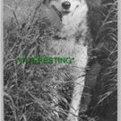 """OOLIK"" AN ALASKAN HUSKIE IN 1910 (8x10) ANTIQUE DOG RP PHOTOGRAPH"