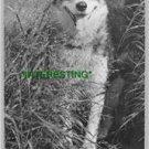 """OOLIK"" AN ALASKAN HUSKIE IN 1910 (8x10) ANTIQUE DOG RP PHOTOGRAPH"