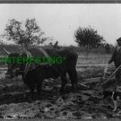 1901 PLOWING WITH AN OX--DOWN ON THE FARM (8x10) ANTIQUE RP DOG PHOTOGRAPH