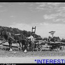*NEW* Antique Cows Photo:Hitching up horses to gather corn to feed cows FSA farm