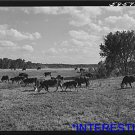 *NEW* Antique Cows Photograph: Herd of Hereford Cows Spring Calves, FSA Stock