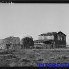 *NEW* Antique Cows Photograph: El Camino District, Tehema County, California hay