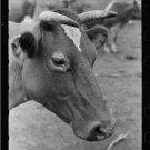 *NEW* Antique Cows Photograph:Guernsey Cow, Brandtjen DF, Dakota County, Minn.