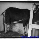 *NEW* Antique Cows Photograph:Government Farm, Beltsville, Maryland, Goat
