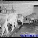 *NEW* Antique Cows Photograph:8 Cows milked at once, Osage Farms, Missouri,Dairy